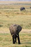 Young African Elephant Photographic Print by Sergio Pitamitz
