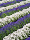 Rows of Lavender with Poppies Photographic Print by Terry Eggers