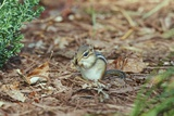 Eastern Chipmunk Photographic Print by Gary Carter