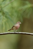 House Finch Photographic Print by Gary Carter