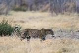 Leopard Photographic Print by Sergio Pitamitz