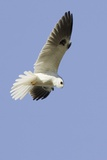 White-Tailed Kite Hunting Photographic Print by Hal Beral