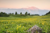 The Mount Bivera Emerges Dawn behind a Spectacular Bloom of Yellow Buttercups, Alpi Carniche , Friu Photographic Print by Gabriele Bano