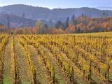 Autumn Colored Pinot Noir Grape Vines Photographic Print by Steve Terrill