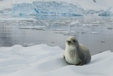 Crabeater Seal on Ice Photographic Print by Joe McDonald