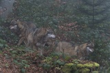 Gray Wolves (Canis Lupus), Bavarian Forest National Park. Photographic Print by Sergio Pitamitz
