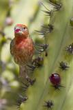 House Finch Eats Cactus Fruit Photographic Print by Hal Beral