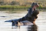 Hippopotamus Yawning Photographic Print by Sergio Pitamitz
