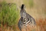 Zebra Photographic Print by Richard Du Toit