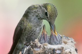 Anna's Hummingbird Feeds Her Chcks in the Nest Photographic Print by Hal Beral