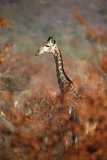 Giraffe in a Red Forest Photographic Print by Richard Du Toit