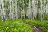 Hiking in the Aspen Trees Forest on the Trail to the American Lake. Photographic Print by Stefano Amantini