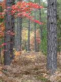 Fall Foliage and Pine Trees in the Forest. Photographic Print by Julianne Eggers
