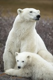 Polar Bear and Cub by Hudson Bay, Manitoba, Canada Photographic Print by Paul Souders