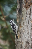 Downy Woodpecker Photographic Print by Gary Carter