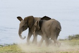 Young African Elephants Sparring Photographic Print by Sergio Pitamitz