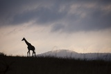 Giraffe at Dawn Photographic Print by Richard Du Toit