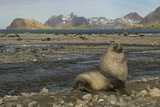 Antarctic Fur Seal at Haul-Out Photographic Print by Joe McDonald