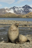 Antarctic Fur Seal on Shore Photographic Print by Joe McDonald