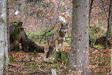 Gray Wolf (Canis Lupus), Bavarian Forest National Park. Stampa fotografica di Sergio Pitamitz