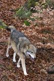 Gray Wolf (Canis Lupus), Bavarian Forest National Park. Fotoprint av Sergio Pitamitz