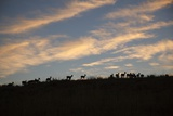 Impala Herd at Dawn Photographic Print by Richard Du Toit
