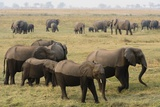 African Elephants Photographic Print by Sergio Pitamitz
