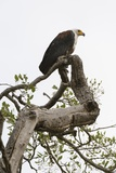 African Fish Eagle Photographic Print by Sergio Pitamitz