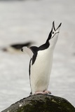 Chinstrap Penguin Calling Photographic Print by Joe McDonald