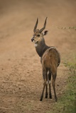 Bushbuck on Roadside Photographic Print by Joe McDonald