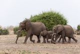 African Elephants and Calf Photographic Print by Sergio Pitamitz