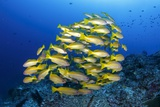 School of Yellow Snappers Photographic Print by Bernard Radvaner