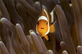 Clown Fish Portrait in Anemone Photographic Print by Bernard Radvaner