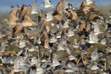 Large Flock of Shore Birds Takes Off Photographic Print by Hal Beral