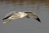 Ring-Billed Gull Flys with a Bat in it's Bill Photographic Print by Hal Beral
