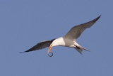 Elegant Tern Flys with Pipefish in it's Bill Photographic Print by Hal Beral