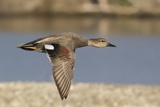 Gadwall Drake in Flight Photographic Print by Hal Beral