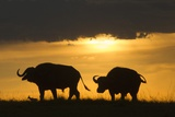 African Buffalo at Sunset Photographic Print by Joe McDonald