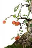 Bonsai Apple Photographic Print by Fabio Petroni