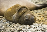 Southern Elephant Seal Cub Photographic Print by Joe McDonald
