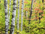 An Autumn View of a Birch Forest in Michigan's Upper Peninsula. Photographic Print by Julianne Eggers