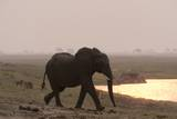 African Elephant Walking to the River Photographic Print by Sergio Pitamitz