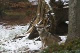 Gray Wolf (Canis Lupus), Bavarian Forest National Park. Photographic Print by Sergio Pitamitz