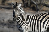 Zebra Photographic Print by Sergio Pitamitz