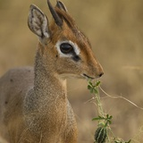 Kirk's Dik-Dik Browsing Photographic Print by Joe McDonald
