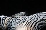Zebra Anemonie Shrimp Photographic Print by Bernard Radvaner