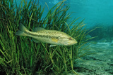 Largemouth Bass, Micropterus Salmoides, Usa, Florida, FL Photographic Print by Reinhard Dirscherl