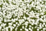 The with Cotton Grass Covers Entire Fields of Wet,Iceland, Islanda Photographic Print by Gabriele Bano