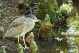 Night Heron; Photographic Print by Gary Carter