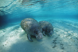 West Indian Manatee Photographic Print by Reinhard Dirscherl